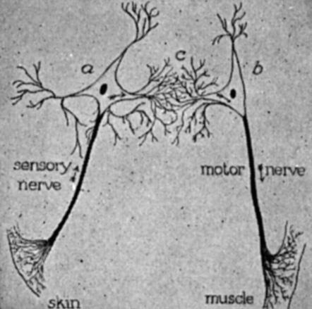 Reflex Neural Pathway