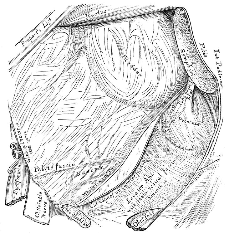 Deep Layers - Endopelvic Fascia